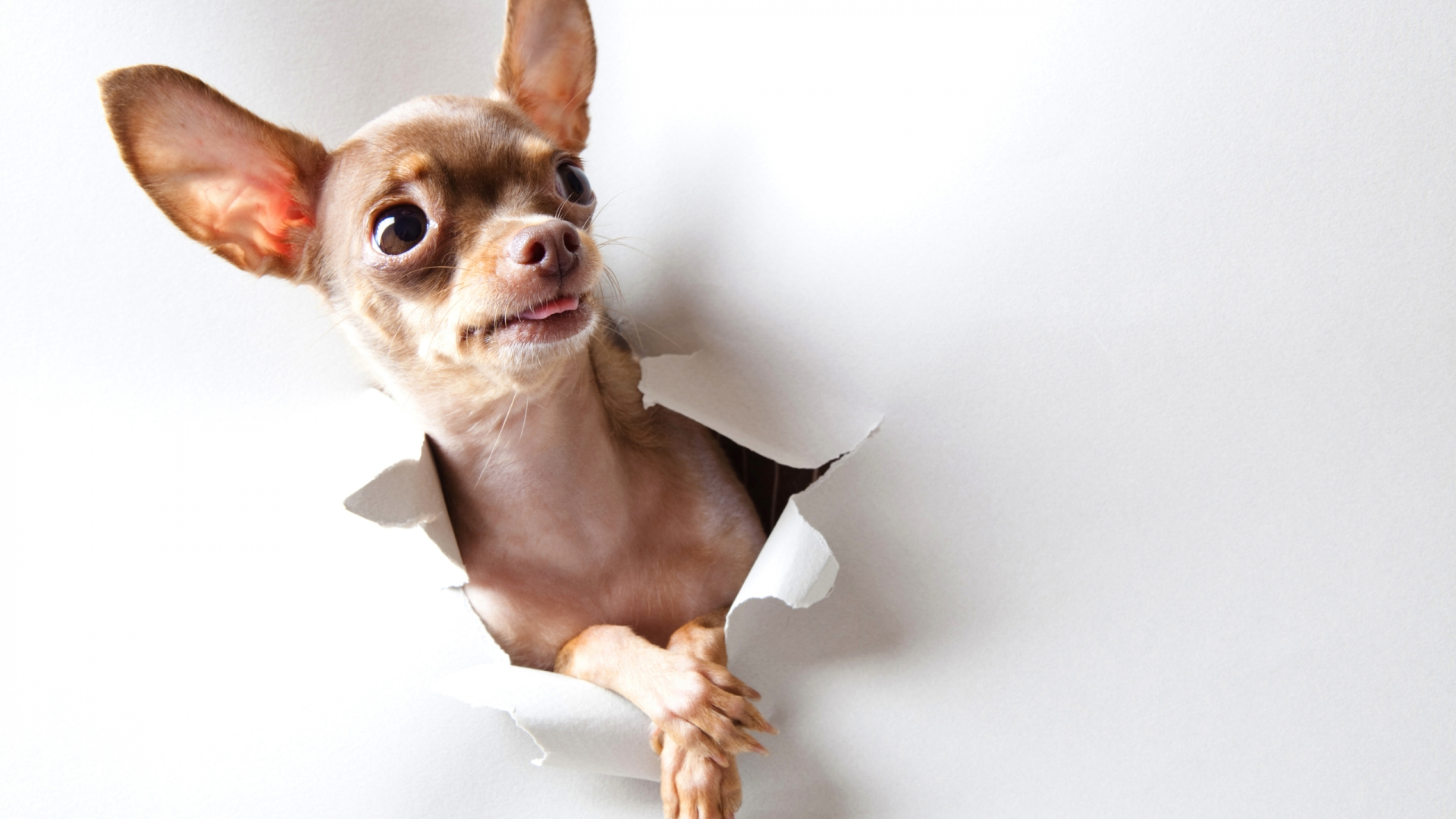38879152 Adorable Chihuahua Images HD, 1920x1080