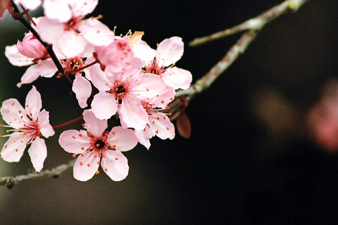 Wallpaper, Cherry Blossom (39231264)
