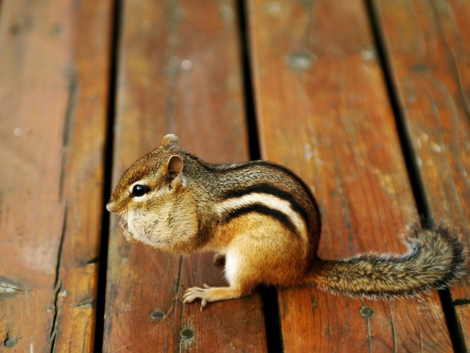 Chipmunk | Full HD Images