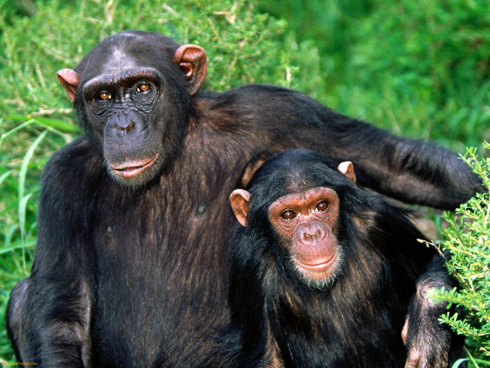 Chimpanzee 27207033 Wallpaper for Free | Amazing HQ Definition Photos