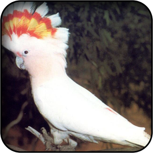 Interesting Cockatoo HDQ Images Collection: 39810609, 300x300 px