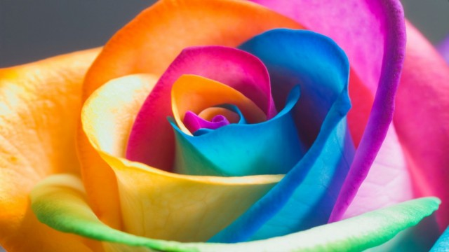 Full HD Amazing Colorful Rose Photos HD Wallpapers