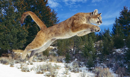 Full High Quality Backgrounds: Cougar, 517x310 px
