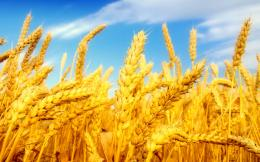 Cool Wheat Desktop Wallpapers – 39289989 Cool Wheat Backgrounds