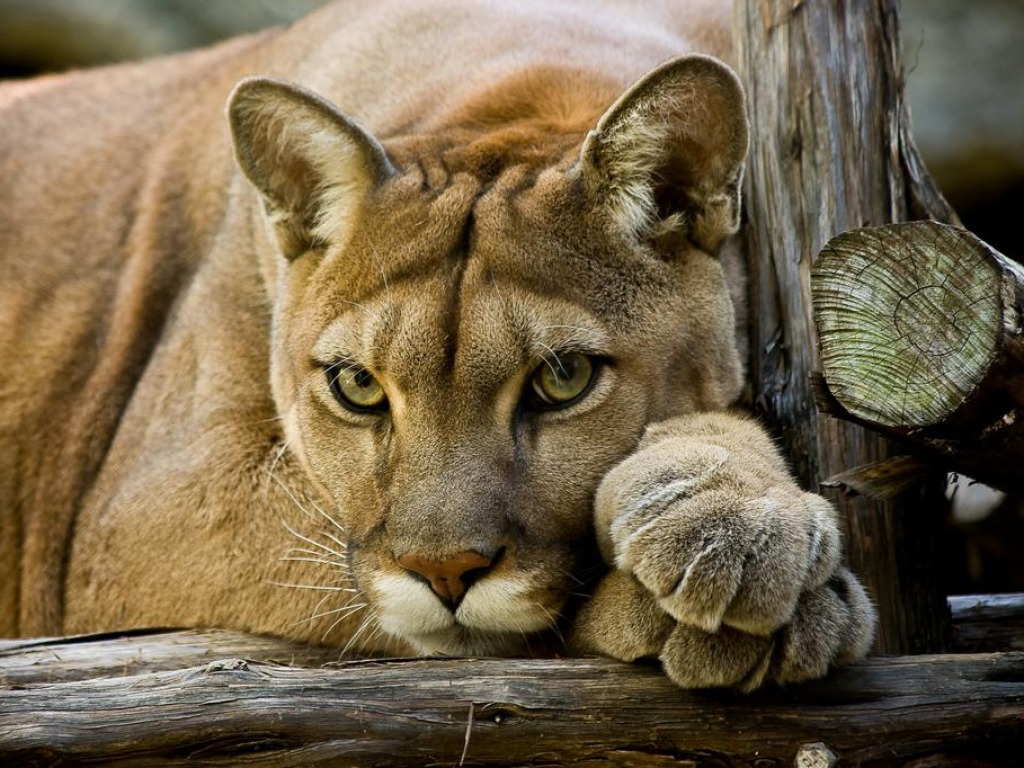 Cougar Wallpapers, 1024x768 px | Wallpapers PC Gallery