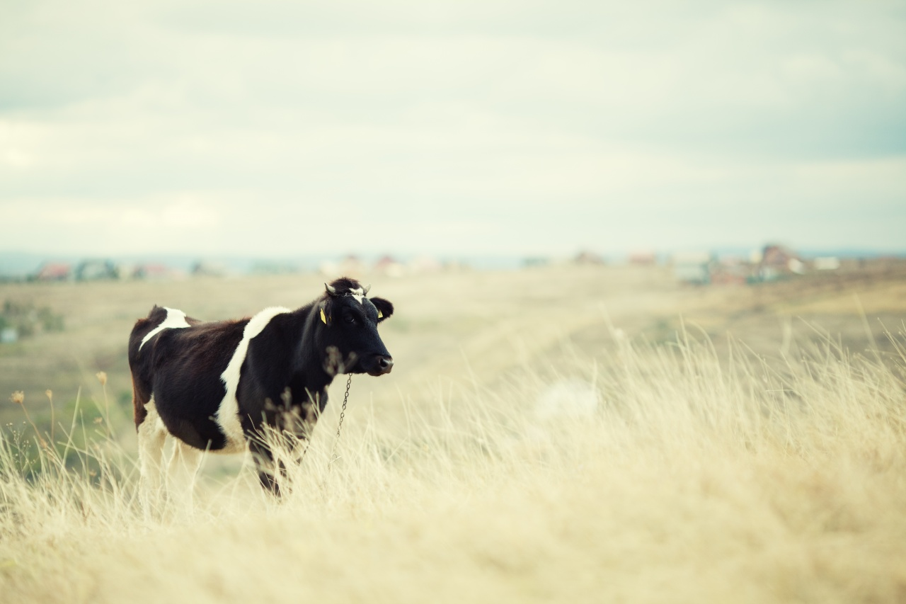 By Porfirio Eberly V.56: Amazing Cow Pictures & Backgrounds