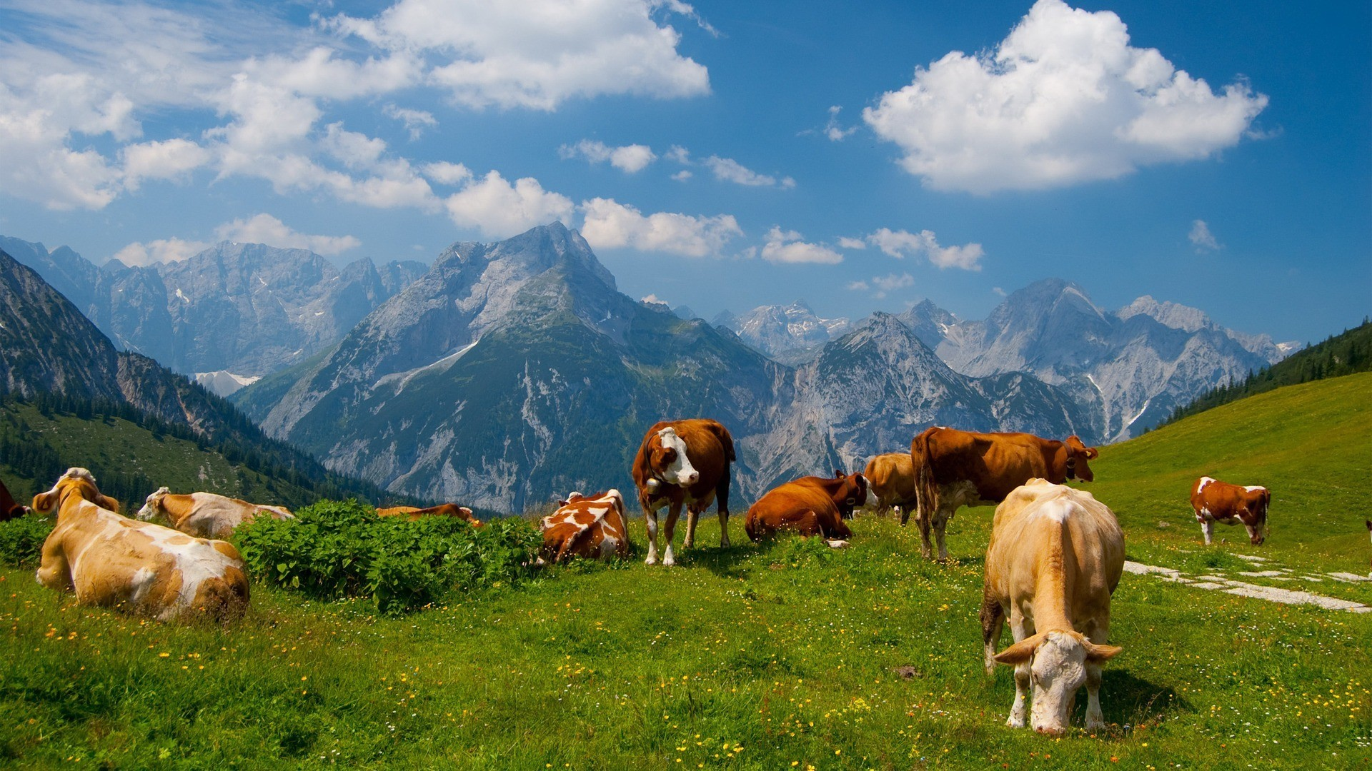 Image: Wallpaper-Cows-JCG75.jpg