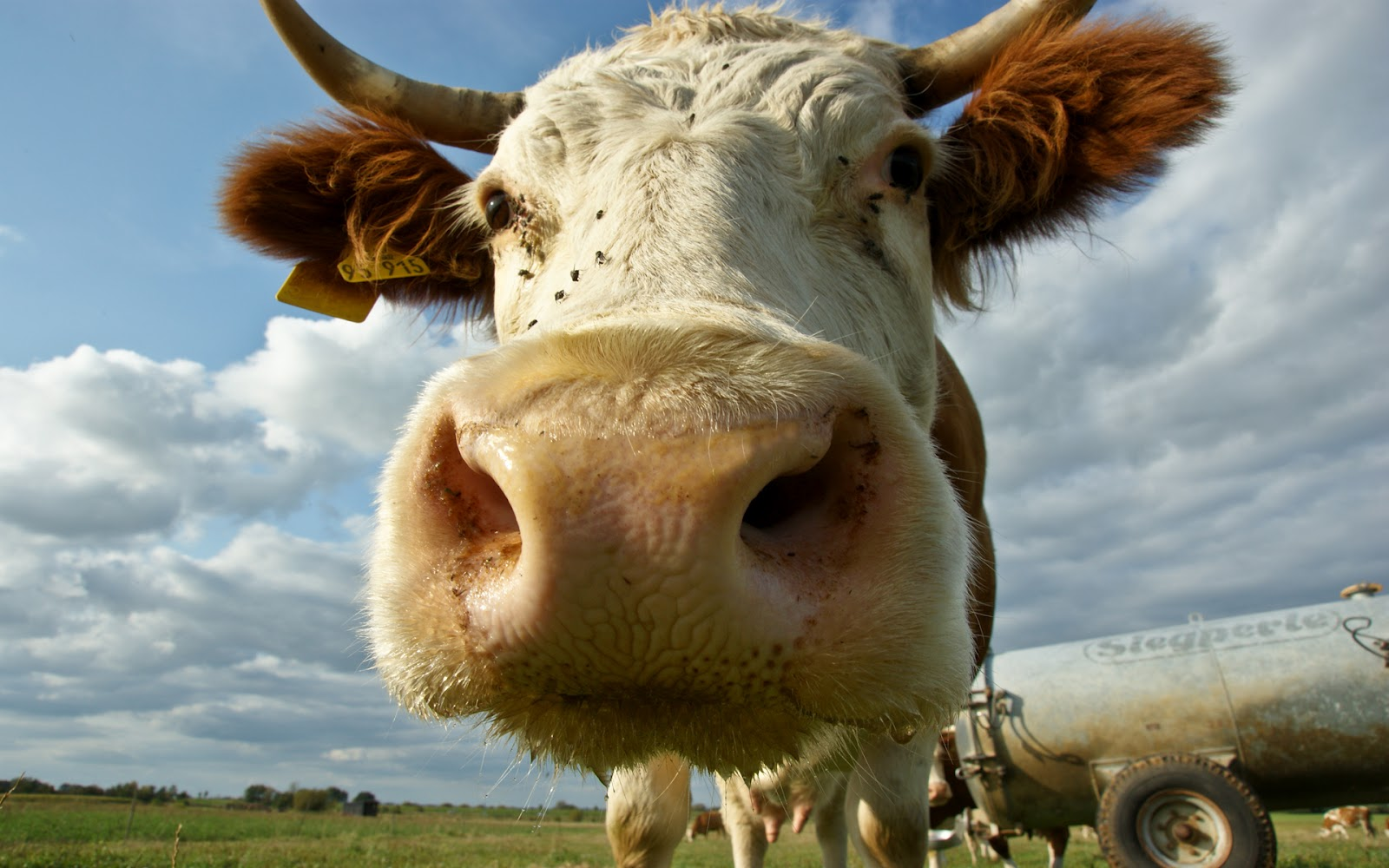 PC.3636, Cow, HD Photo Collection