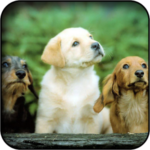 PC 300x300 Cute Dogs Wallpaper, B.SCB