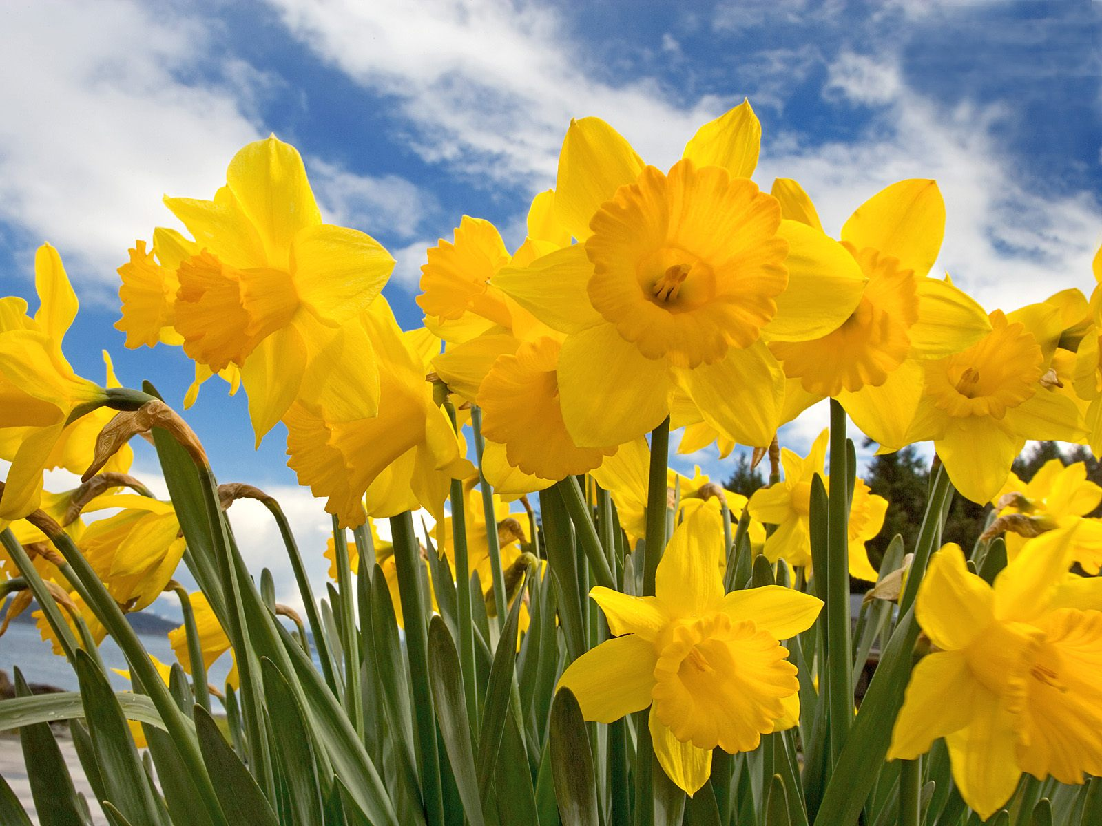 Wallpapers Of The Day: Daffodil | 1600x1200 px Daffodil Pictures