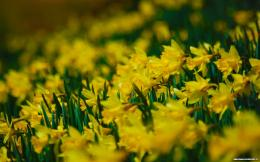 93+ Best HD Daffodil Wallpapers, 27413474 260x162