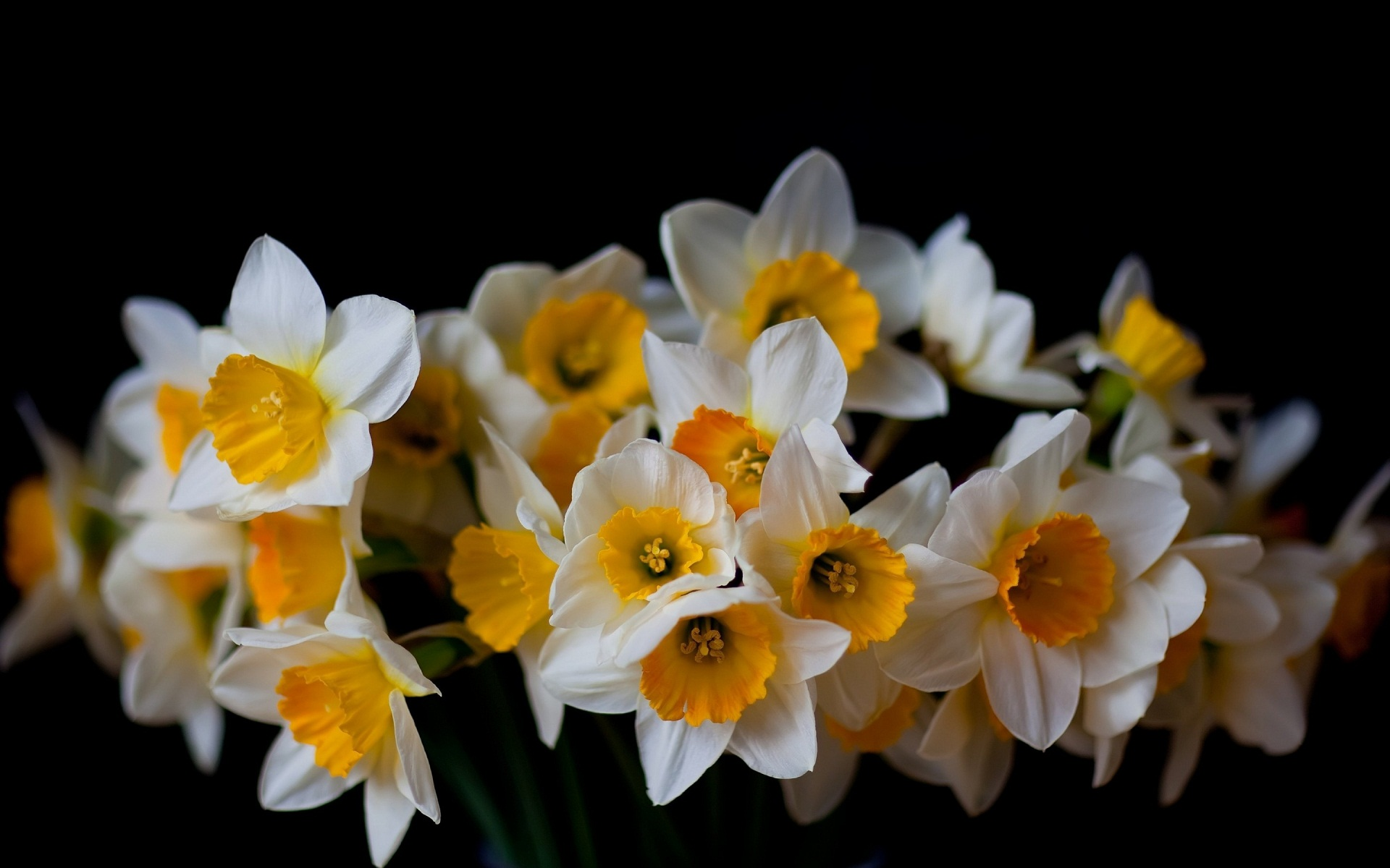 Daffodil Wallpaper #HYQ52HYQ