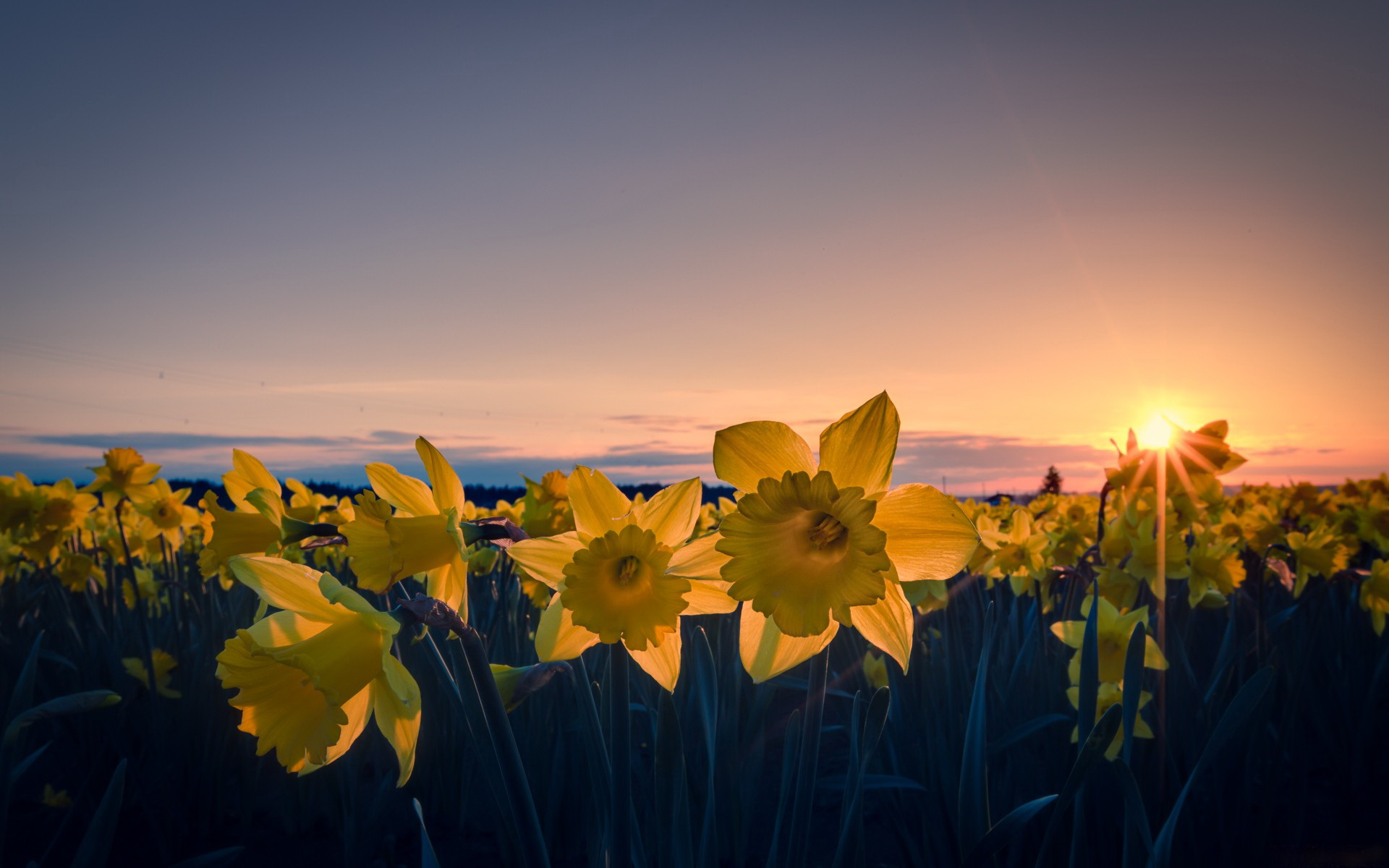 1920x1200 px › Daffodil Wallpapers