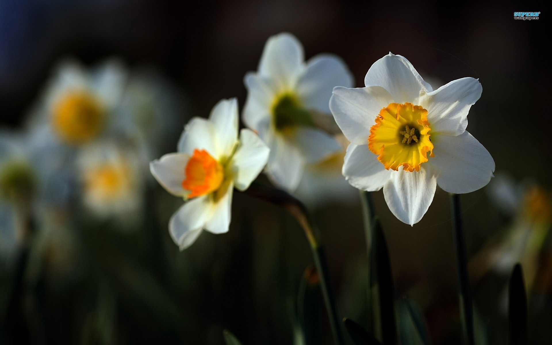 Full HD Creative Daffodils Pictures, 1920x1200, Jed Victoria