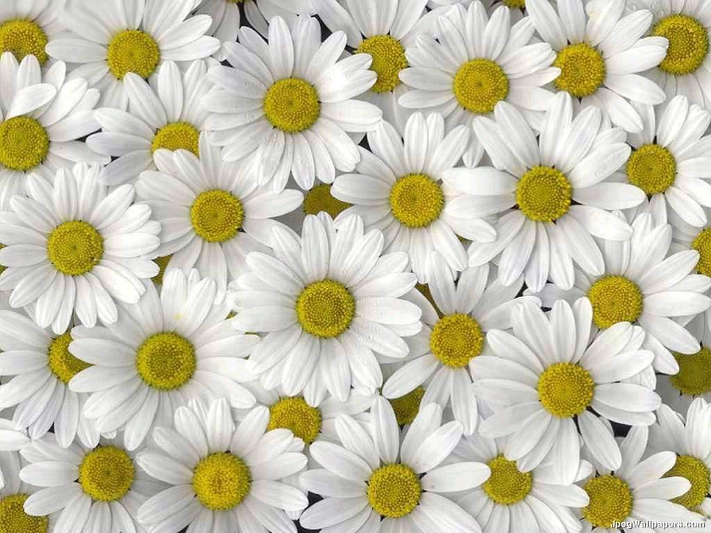 Daisy HD Wallpapers Free Download - Unique HD Widescreen Backgrounds