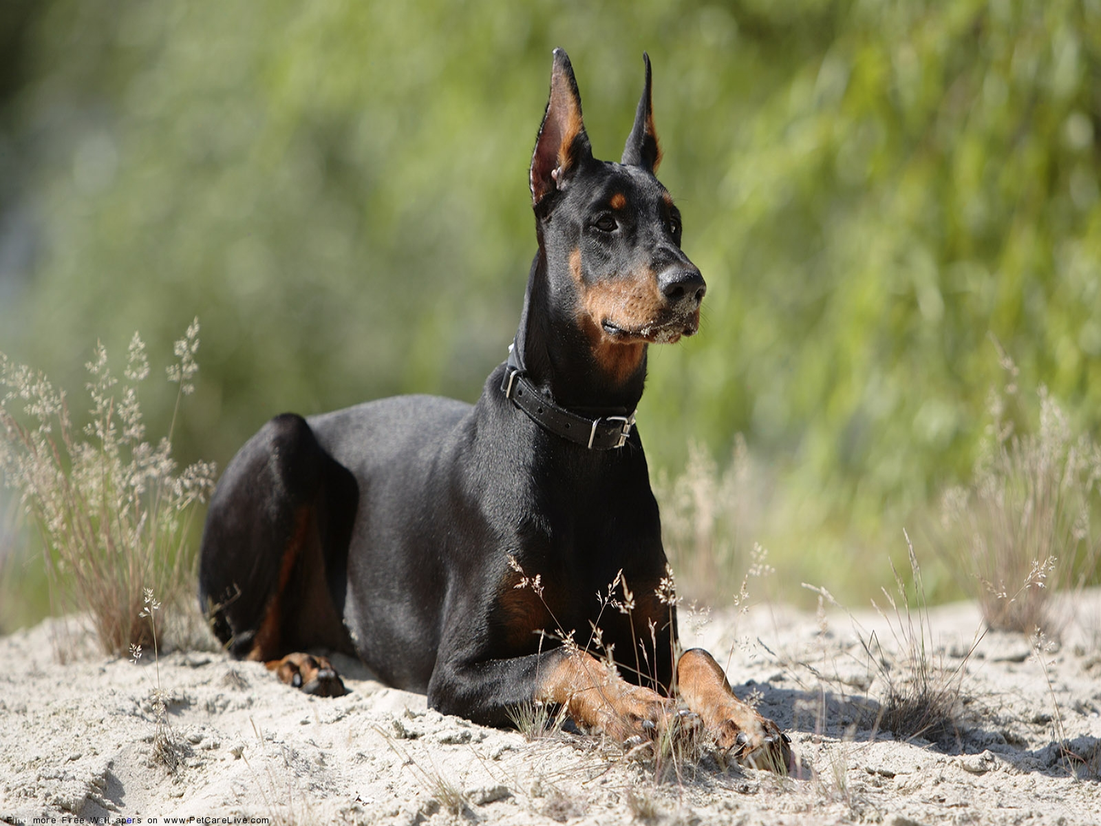 HD Images Collection of Doberman: 39305615 by Claudine Harewood