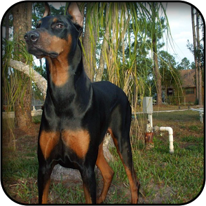 Computer Doberman Wallpapers, Desktop Backgrounds 300x300