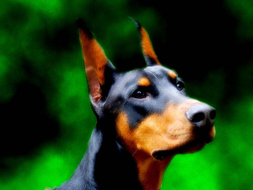 Doberman Backgrounds (PC, Mobile, Gadgets) Compatible | 1024x768