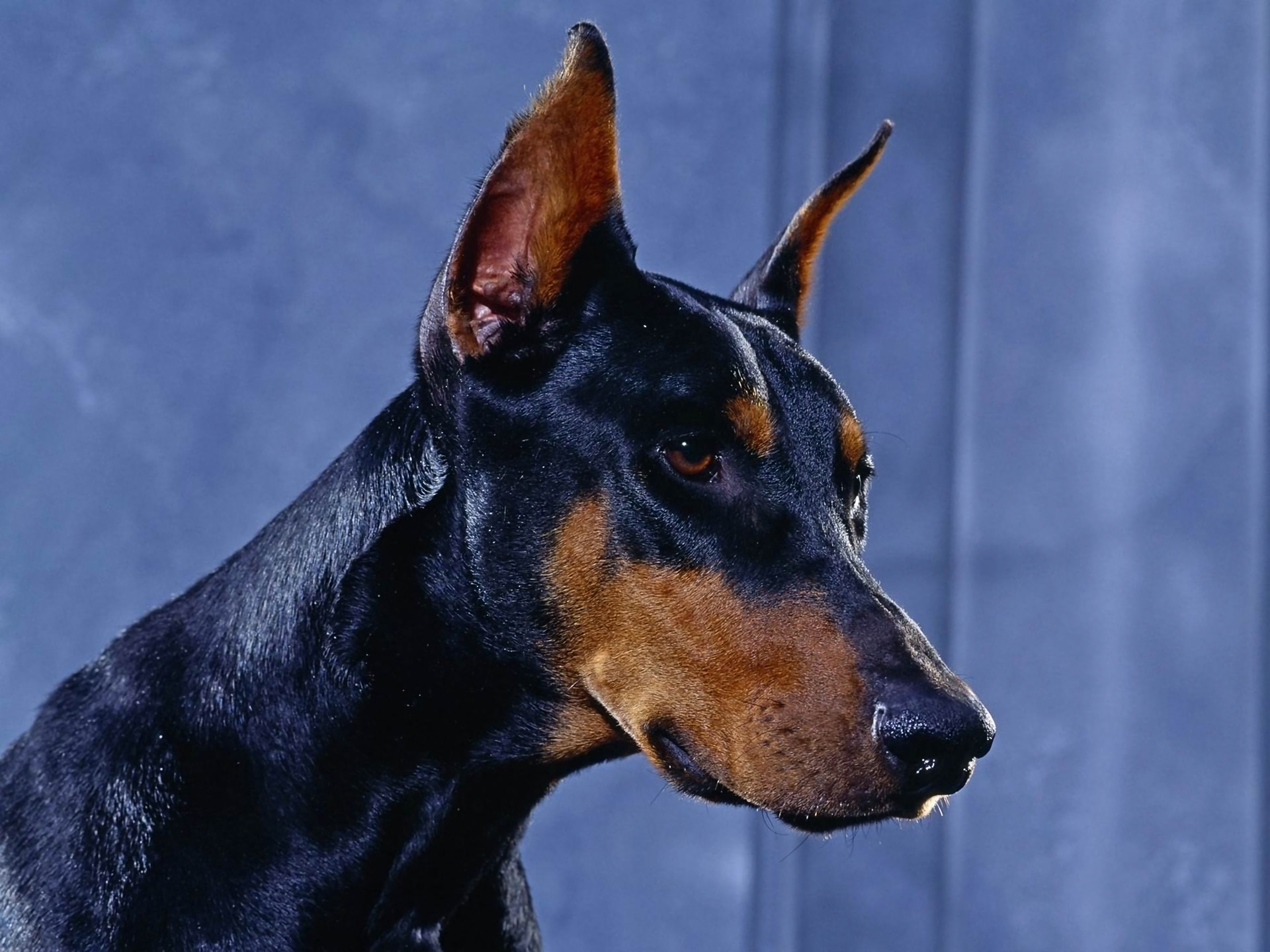 Doberman, 03.05.15 | Photos PC Gallery, 2717.34 Kb