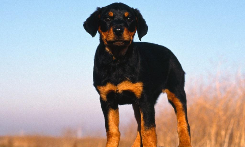 Top Doberman Wallpapers, #TMITMI-98