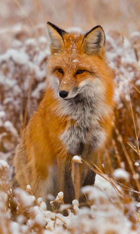 High Quality Image of Fox : 480x800