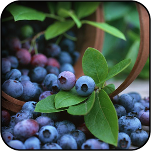 Top Collection of Free Blueberry Wallpapers: 39273857 Free Blueberry Background 300x300