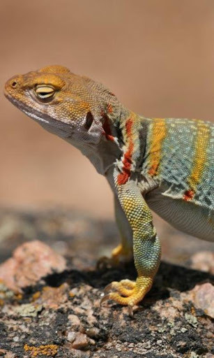 High Quality Free Lizard Wallpapers, Birgit Stumpff