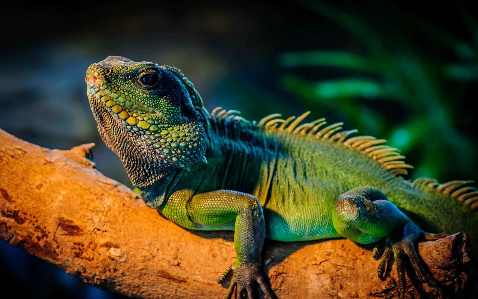 Free Lizard Wallpapers | Free Lizard Full HD Quality Wallpapers