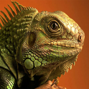 Wallpapers Of The Day: Free Lizard | 300x300 px Free Lizard Photos