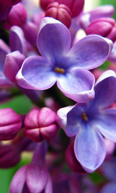 Cool HD Wallpapers Collection of Free Lilac - 480x800, 02.10.16