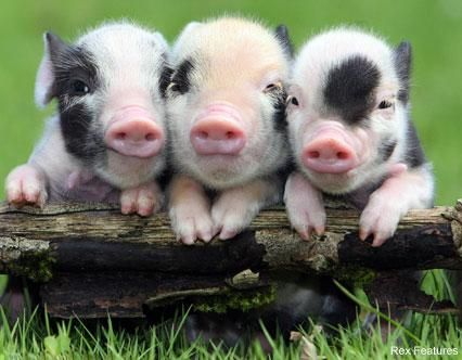 HD Widescreen Free Pig Images Collection for Desktop