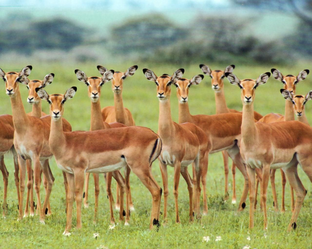 Top Gazelle HD Wallpapers | Awesome Backgrounds