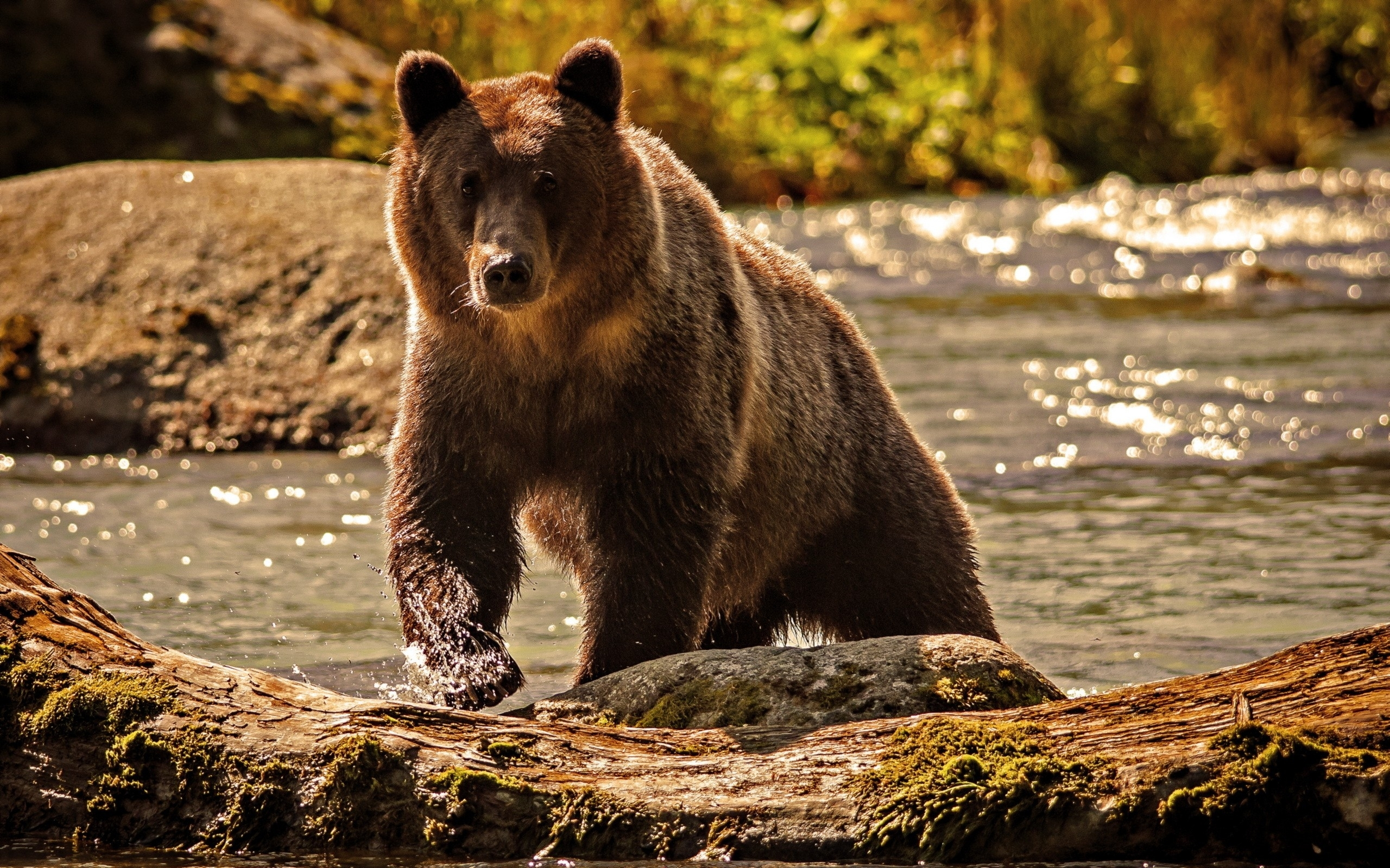 Grizzly HD Wallpapers | Backgrounds