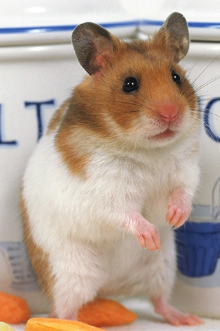 Hamster High Quality Wallpapers Gallery, CLN.39952356