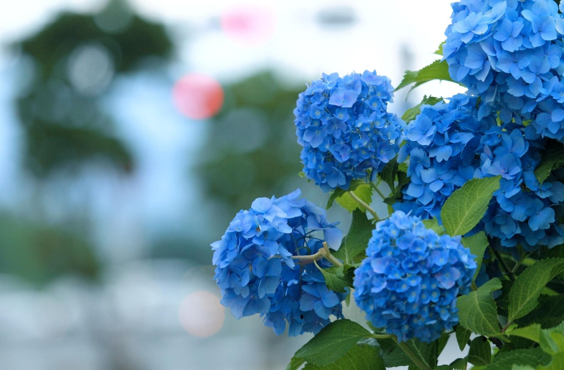 Hd Hydrangea Wallpapers 1800x1180 | BsnSCB Gallery