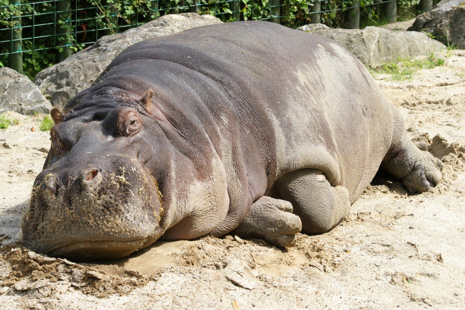 Hippo Wallpaper by Betty Cockerham, B.SCB | Animals 100% Quality HD